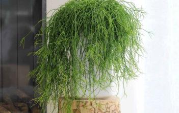Mistletoe Cactus (Rhipsalis baccifera)