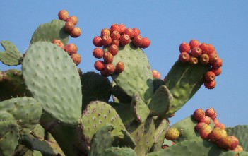 Opuntia ficus-indica - Indian Fig