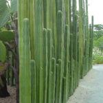 Pachycereus marginatus (Mexican Fence Post Cactus)