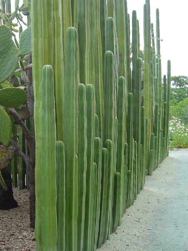 pachycereus marginatus mexican fence post cactus world of succulents. Black Bedroom Furniture Sets. Home Design Ideas