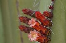 Pachycereus marginatus - Mexican Fence Post Cactus