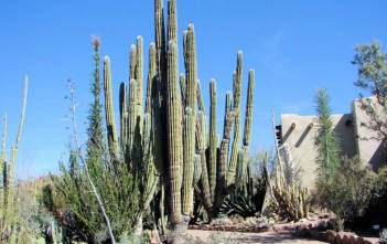 Pachycereus pringlei (Mexican Giant Cardon)
