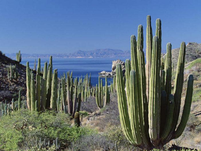 Pachycereus pringlei - Mexican Giant Cardon5