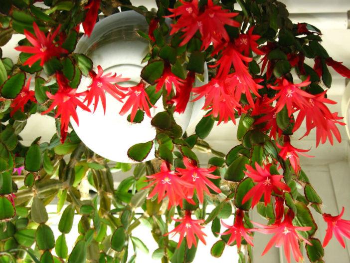 Hatiora gaertneri (Easter Cactus)