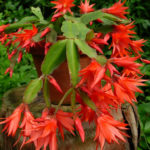 Rhipsalidopsis gaertneri - Easter Cactus