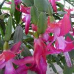 Schlumbergera russelliana