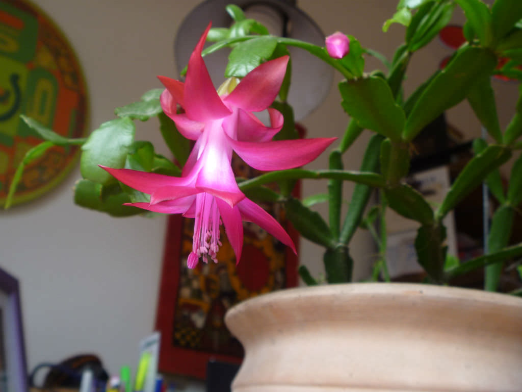 Flower Schlumbergera home care, reproduction and photo 32