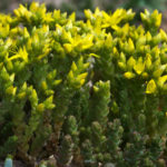 Sedum acre - Goldmoss Stonecrop