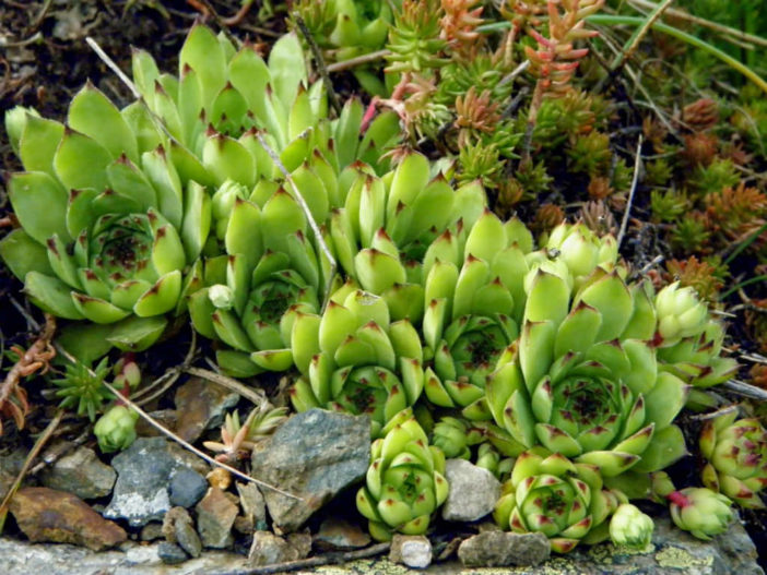 Sempervivum tectorum - Houseleek