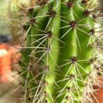 Stenocereus thurberi - Organ Pipe Cactus