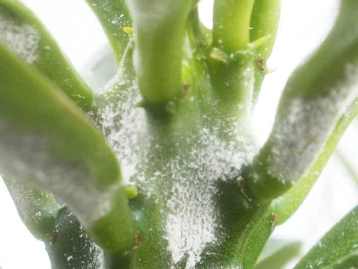 White Mold in Succulents