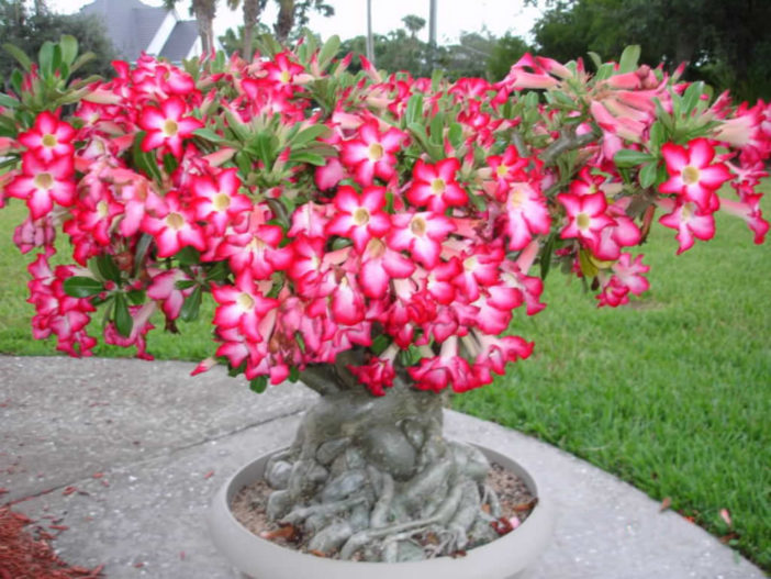 Grow and Care Desert Rose (Adenium obesum)