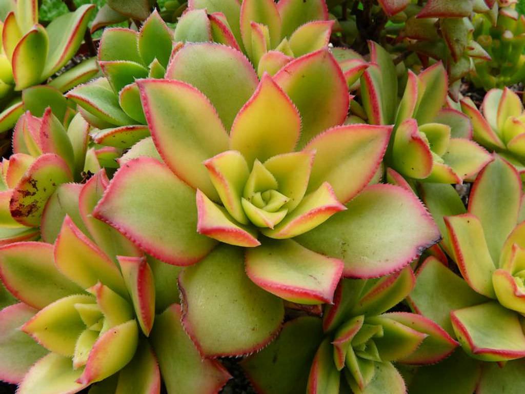 aeonium kiwi kiwi aeonium world of succulents