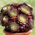 Aeonium arboreum var. atropurpureum - Purple Rose, Purple Aeonium