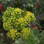 Aeonium tabuliforme - Dinner Plate Aeonium Saucer Plant