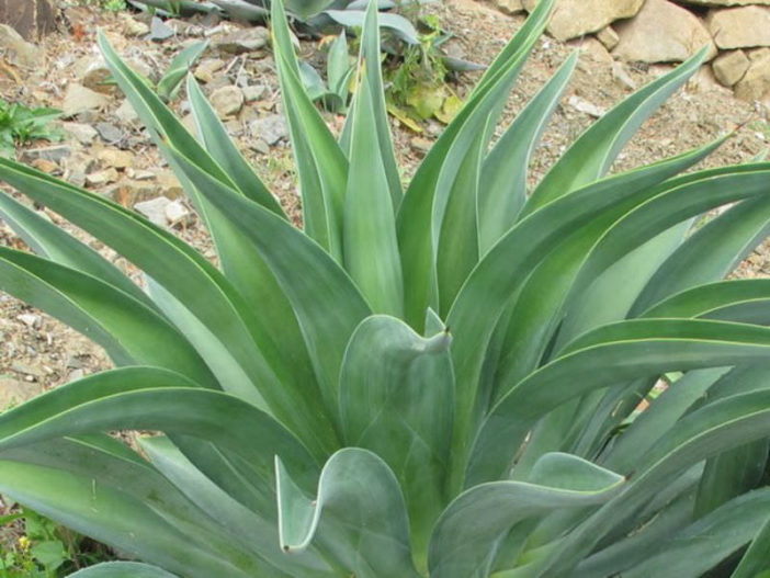 Agave Desmetiana Smooth Agave World Of Succulents