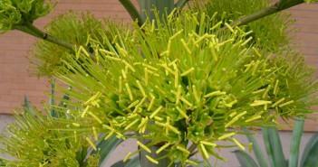 Agave desmettiana - Smooth Agave Dwarf Century Plant