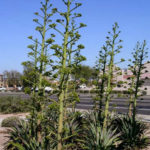 Agave desmetiana (Smooth Agave)