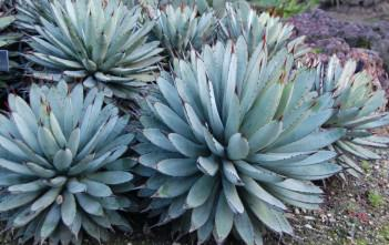 Agave macroacantha - Black Spined Agave