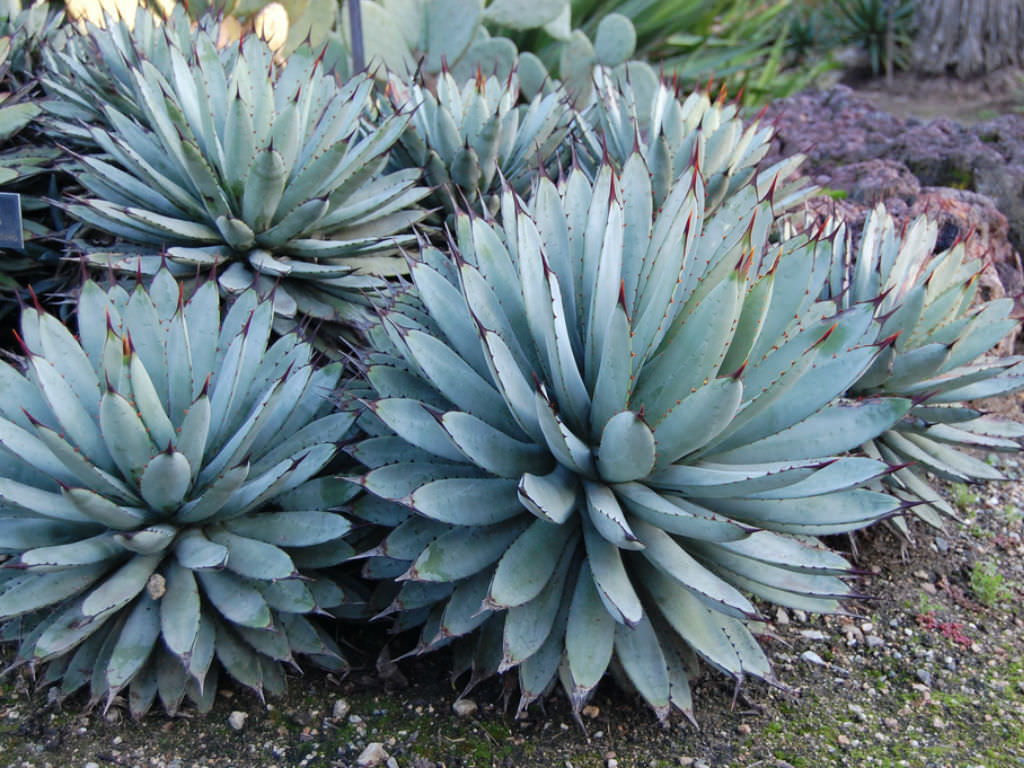 Agave Macroacantha Black Spined Agave World Of Succulents