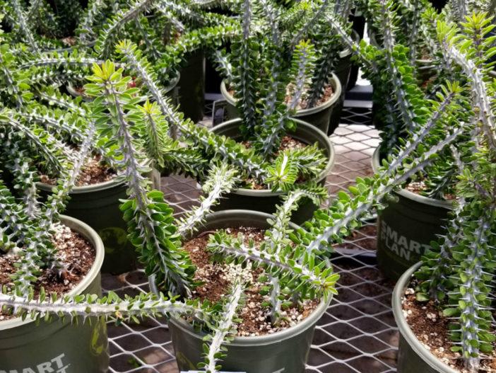 Grow and Care Alluaudia (Alluaudia procera)