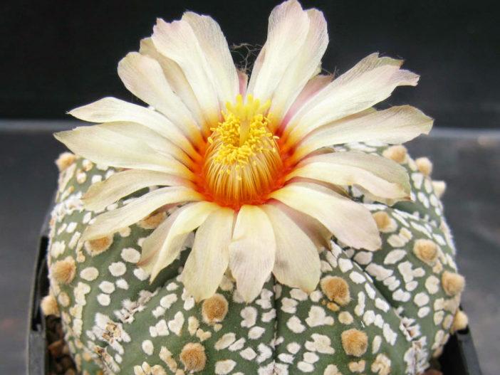 Astrophytum asterias 'Super Kabuto' (Silver Dollar Cactus)