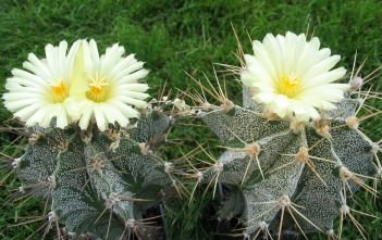 Astrophytum ornatum - Monk's Hood Star Plant