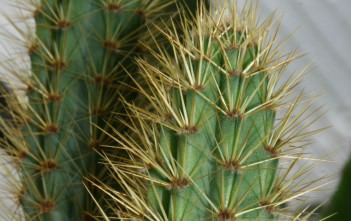 Cereus insularis
