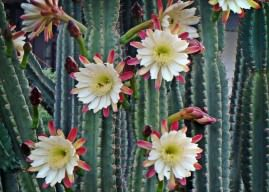 Cereus repandus (Peruvian Apple Cactus)