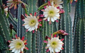 Cereus repandus - Peruvian Apple, Hedge Cactus