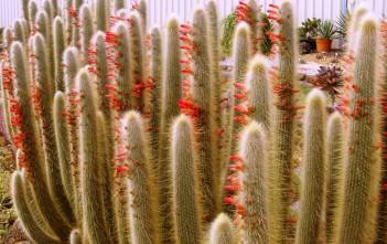 Cleistocactus jujuyensis