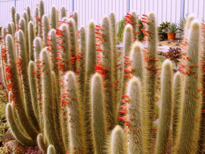 Grow and Care Cleistocactus jujuyensis