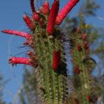 Cleistocactus smaragdiflorus