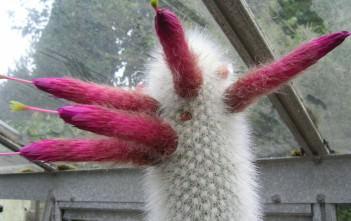 Cleistocactus strausii - Silver Torch Cactus Snow Pole