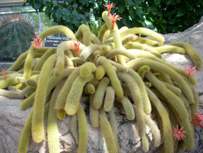 Cleistocactus winteri - Golden Rat Tail