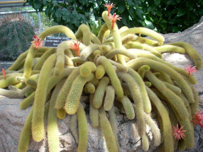 Cleistocactus winteri - Golden Rat Tail