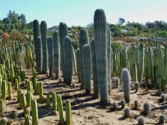 Root Columnar Cacti