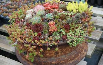 Container Succulents