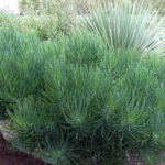 Curio talinoides (Narrow-leaf Chalk Sticks) aka Senecio talinoides