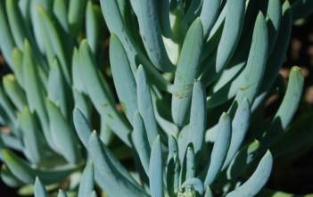 Curio talinoides (Senecio talinoides) - Blue Fingers