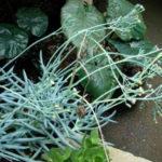 Curio talinoides var. mandraliscae (Blue Chalk Sticks) aka Senecio talinoides var. mandraliscae or Senecio mandraliscae
