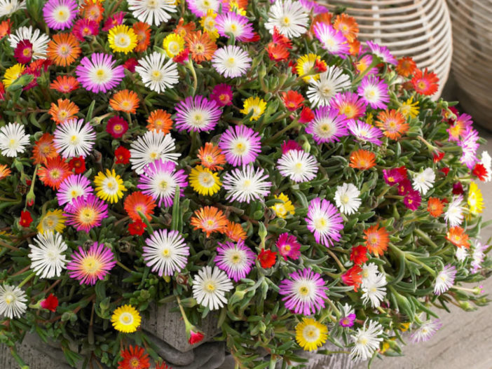 Grow and Care Delosperma