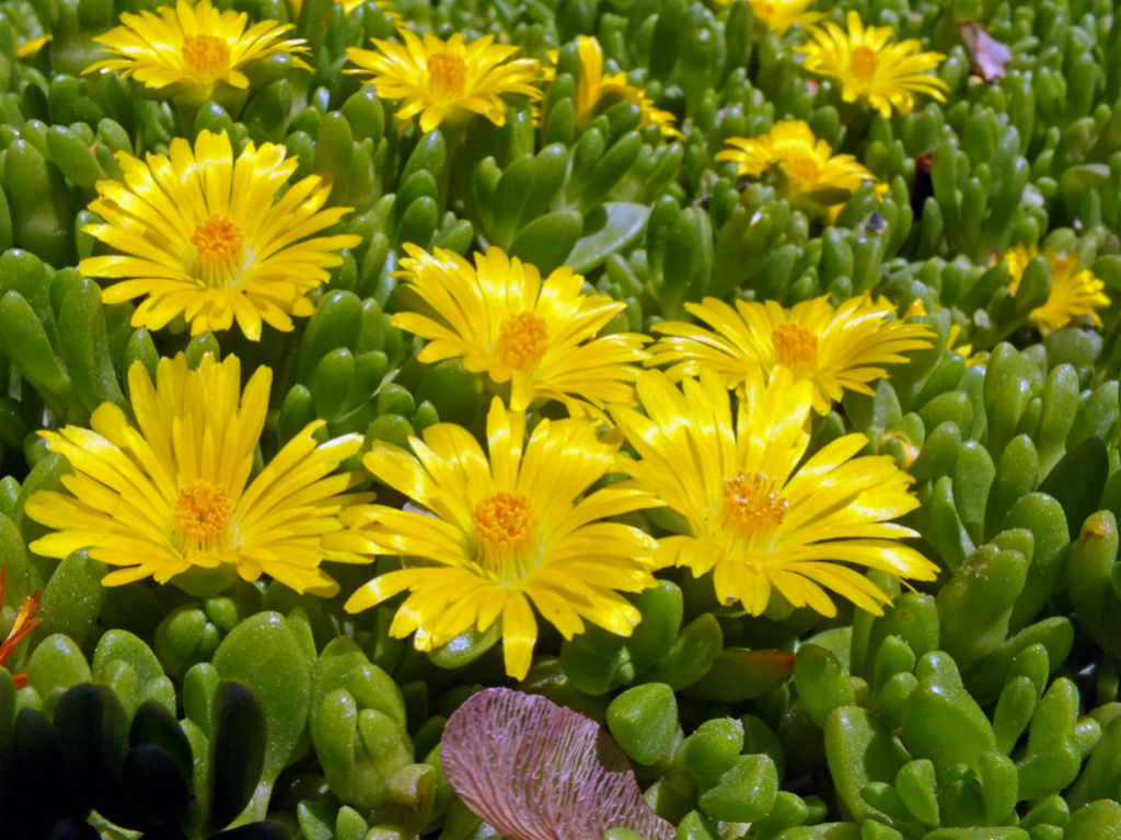 Delosperma world of succulents delosperma nubigenum hardy yellow ice plant mightylinksfo