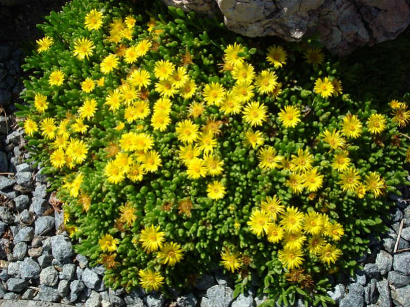 Delosperma Nubigenum Hardy Yellow Ice Plant World Of
