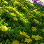 Delosperma nubigenum (Hardy Yellow Ice Plant)