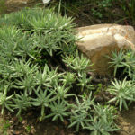 Dudleya virens subsp. hassei - Catalina Island Liveforever