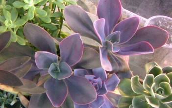 Echeveria gibbiflora var. metallica - Metallic Echeveria