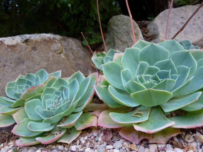 Echeveria secunda - Old Hens and Chicks Blue Echeveria