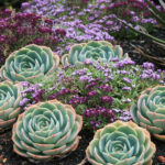 Echeveria x imbricata - Blue Rose Echeveria Hens and Chicks