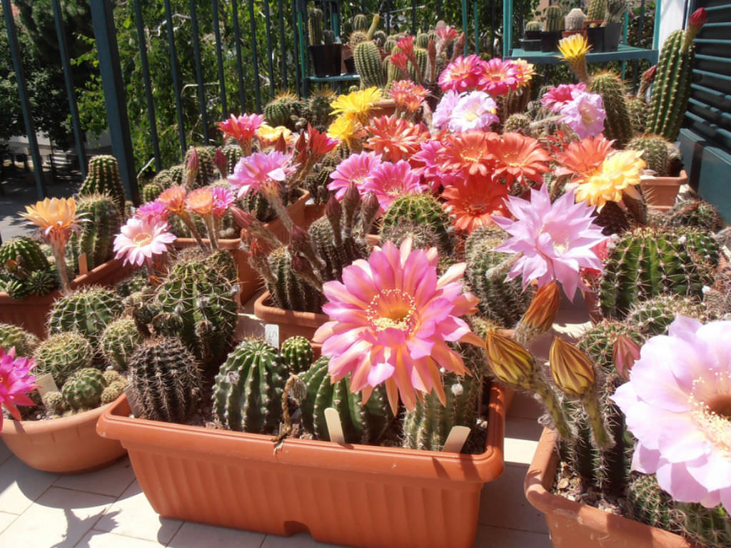 How To Grow And Care For Echinopsis World Of Succulents